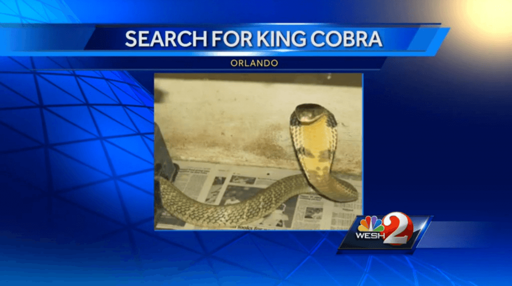 Escaped_king_cobra_on_the_loose_in_Orlando___Local_News_-_WESH_Home